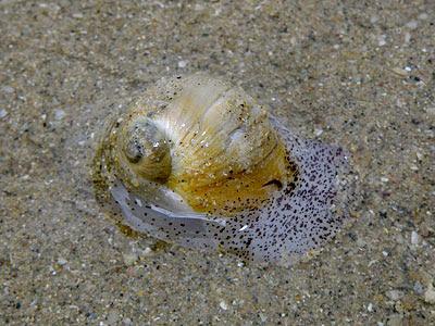 Gualtieri's Moon Snail (Natica gualtieriana)