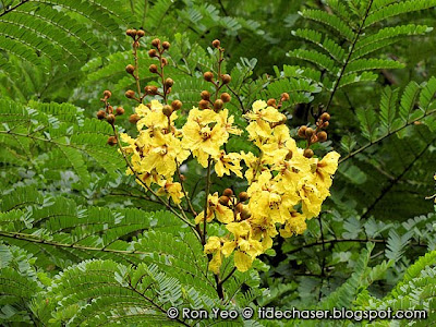 Yellow Flame Tree (Peltophorum pterocarpum)
