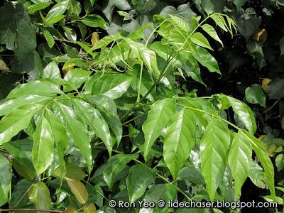 Mangrove Trumpet Tree (Dolichandrone spathacea)