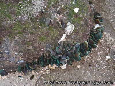 Green Mussels (Perna viridis)