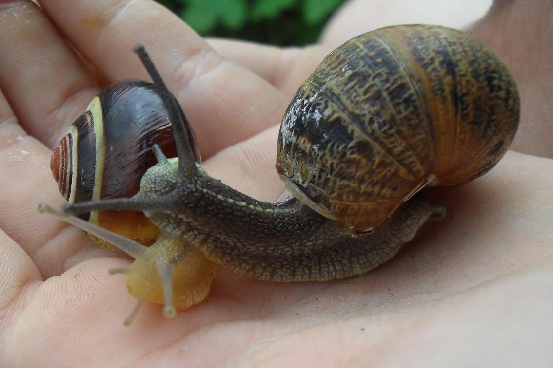 Observando naturaleza la vida de los caracoles for Caracoles de jardin que comen
