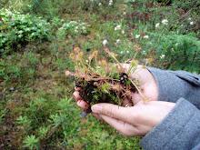 native: sundew, carnivorous bog plant