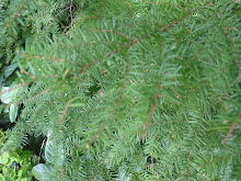 Invasive:  Western Hemlock tree
