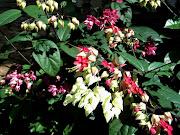 Clerodendrum thomsoniae ( Bleedingheart vine)