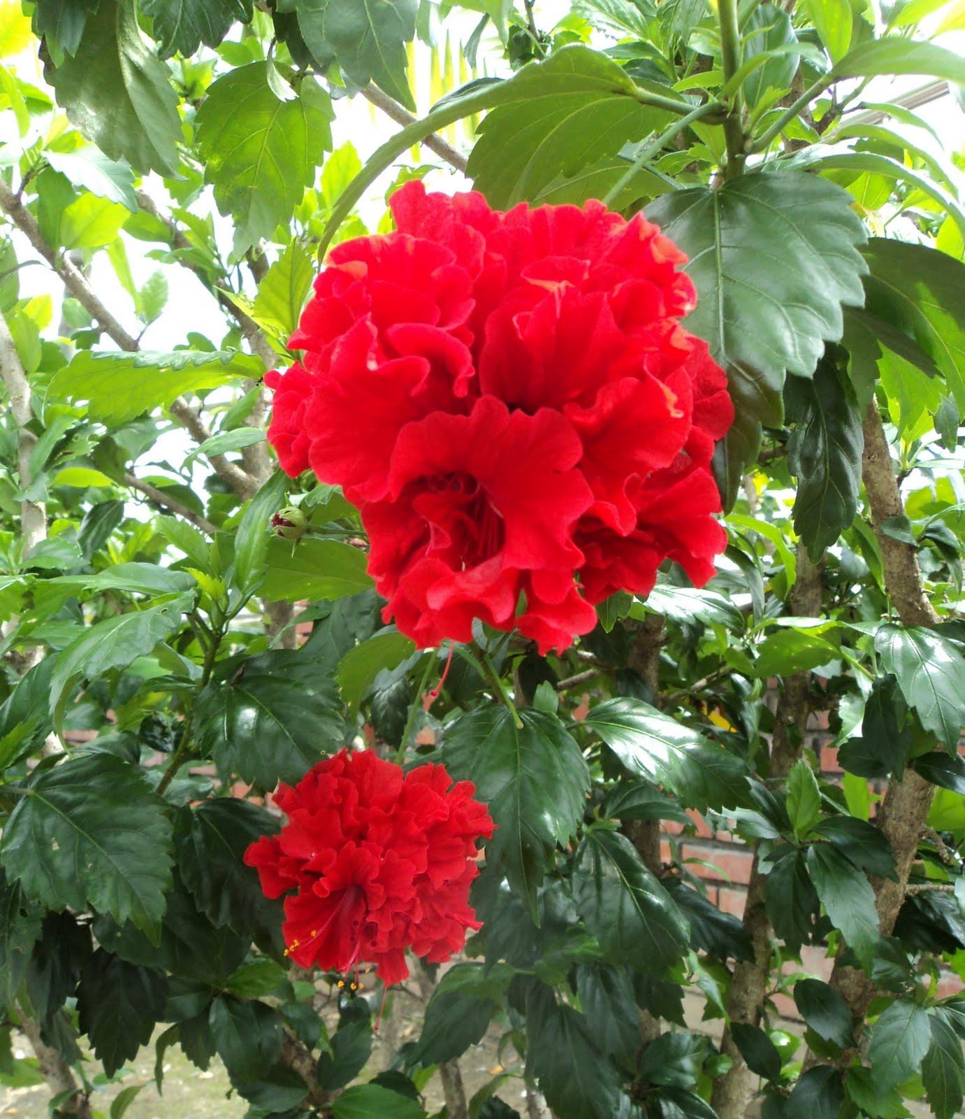Laman kambatik plants list 3rd ed hibiscus hybrid double red hibiscus hybrid double red izmirmasajfo