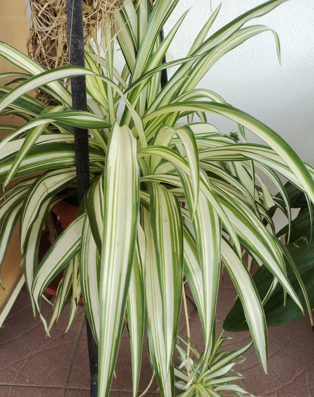 laman kambatik plants list 3rd ed chlorophytum cosmosum spider plant. Black Bedroom Furniture Sets. Home Design Ideas