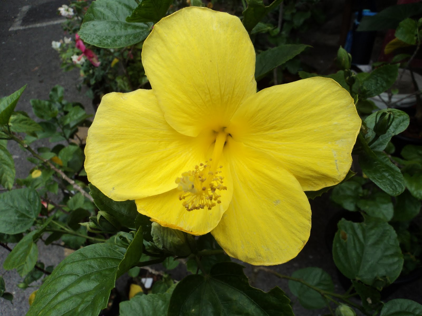 yellow hibiscus plant - photo #5