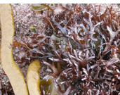 CARRAGEEN MOSS