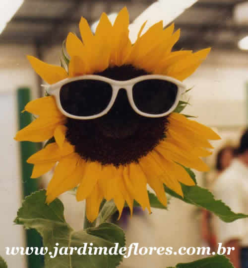 Girassol- a Flor do Sol