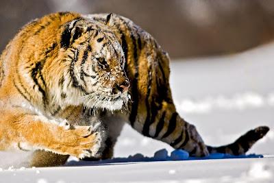 photo, фото, фотографии, фото подборки, природа, дикая природа, животные, тигры, кошки, дикие кошки, семейство кошачьих, хищники