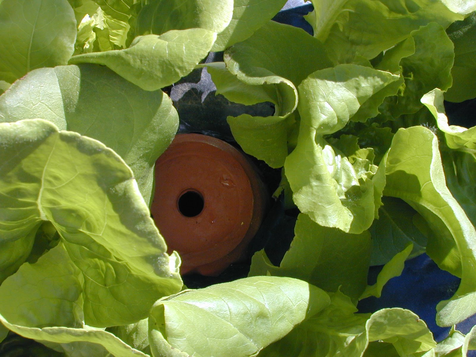Automatic watering system for potted plants - Olla Irrigation