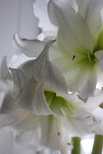 Dubbel vit amaryllis