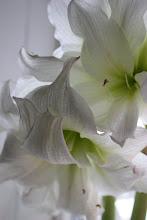 Dubbel vit amaryllis