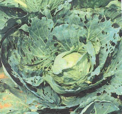 http://1.bp.blogspot.com/_pk8Alr1j_4g/TBd8VeZ-YRI/AAAAAAAAAV8/PVI8PpndWE0/s1600/cabbage.jpg