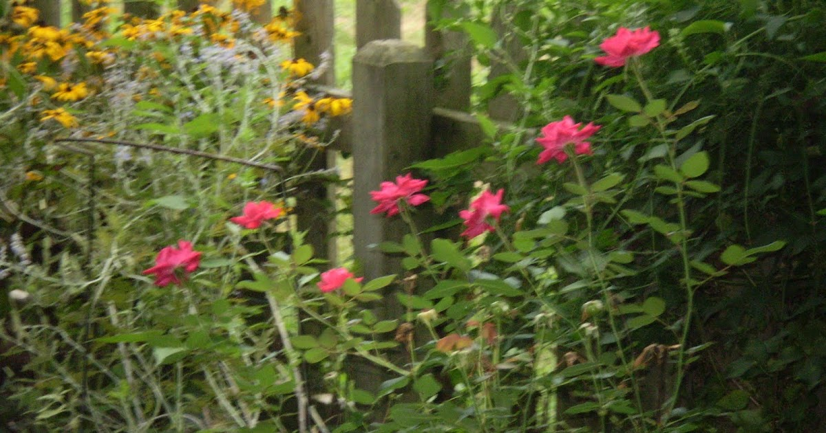 Gardening naturally with claudia 2fer perennials easy for Easy maintenance perennials