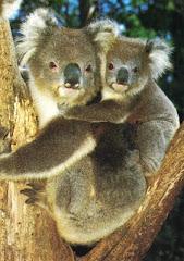 Huggy Koalas