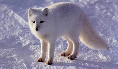 The arctic fox is a small