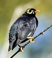 นกขุนทอง (Gracula religiosa)