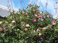 書院の前庭には加藤清正が秀吉に贈った五色八重散椿