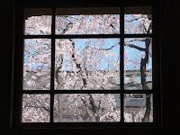 階段から観た桜