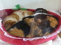 三毛猫の模様と帽子、ちびの寝顔
