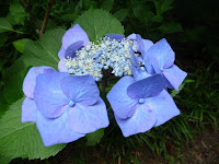 花は紫藤青、ブルーメイズという
