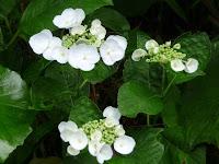 白のリベラ