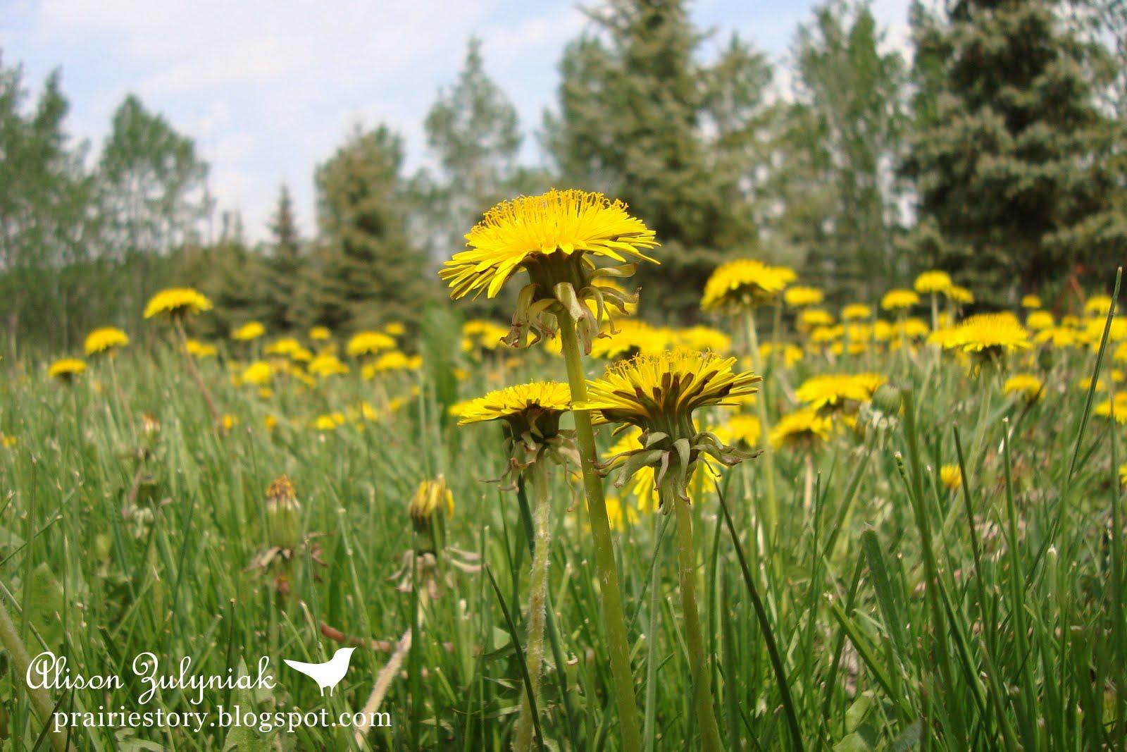 Prairie Story Dandelion Wars