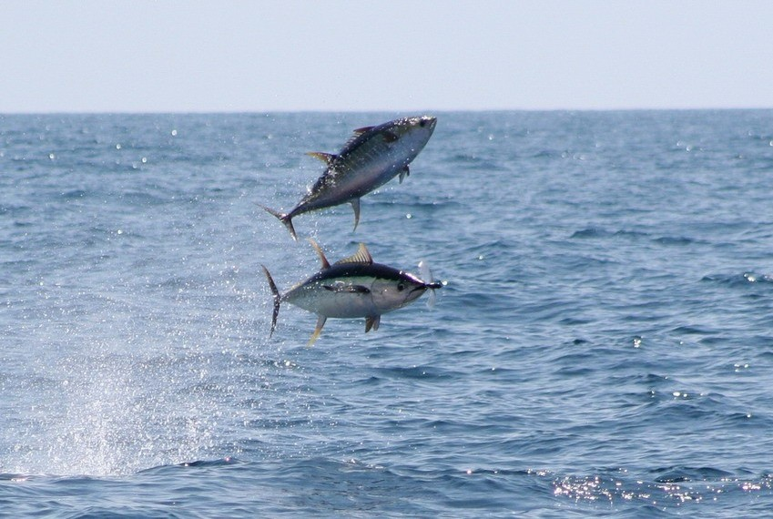 East Coast Bluefin