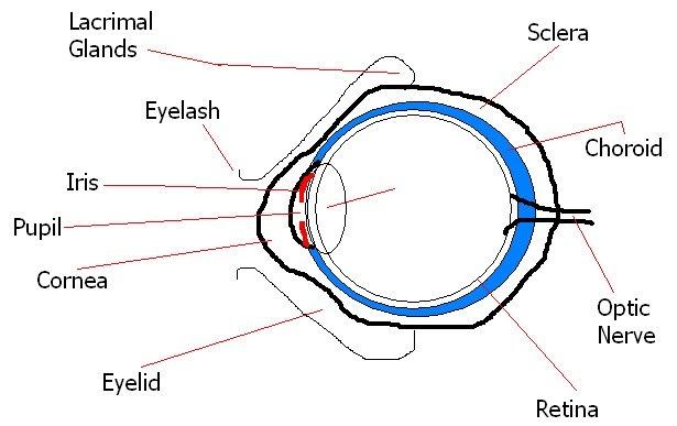 Deylah's Muffiny Anatomy Blog: Basic Eye Anatomy Worksheet