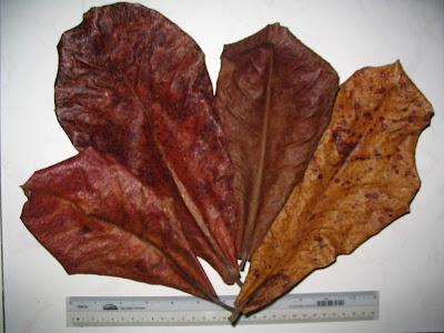 Herbal medicine for betta fish indian almond leave for Betta fish medicine