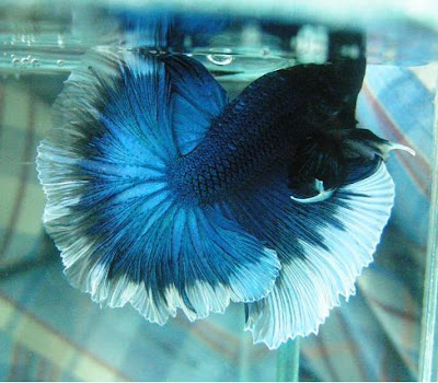 Blue halfmoon betta fish - photo#27