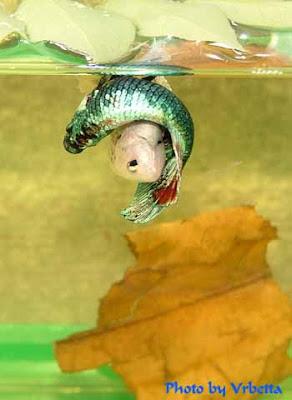 Betta fish show betta fish breeding process for Betta fish mating