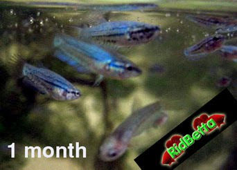 Baby betta fish growth for Baby betta fish care