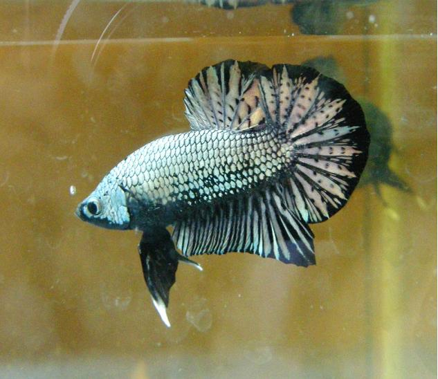 Plakat betta fish for Giant betta fish for sale