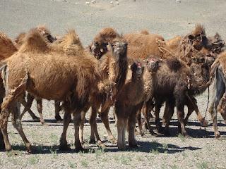 kameler i flok