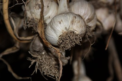 Garlic Drying in Barn