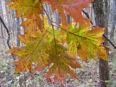 Blue jay barrens giant oak leaves