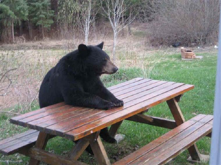 Imagini pentru drumeţie estivală cu urşi