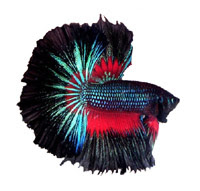 Orchid Male Half Moon Betta