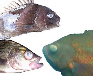 Streptococcus eye infections in fish for Fish pop eye