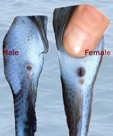 Determining tilapia sex apologise, but