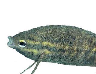 Piscinoodinium pillulare, freshwater velvet