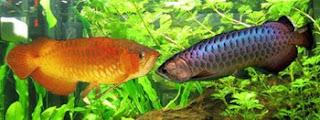 Osteoglossum formosum, Asian Golden Arowana, Dragon Fish