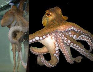 Aquarium Octopus, A aculeatus