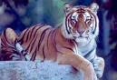 Суматрийски тигър!!!