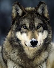 Greysteppenwolf