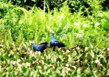 Purple Galinulle