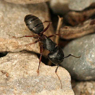 aphrodisiac ants