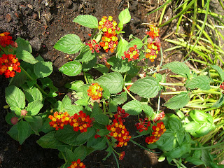 Lantana Red Mound with Basil and Liriope